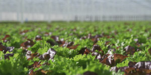 Wendy's Canada has announced it will be using 100 per cent greenhouse-grown lettuce on its menu moving forward.